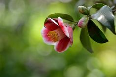 https://flic.kr/p/rHv8Jb | Camellia japonica | 椿 玉之浦        in my garden