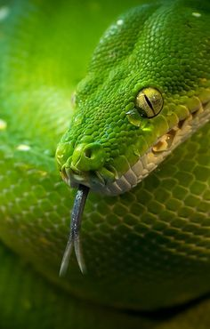 Green Snake | Sylvain Fleur