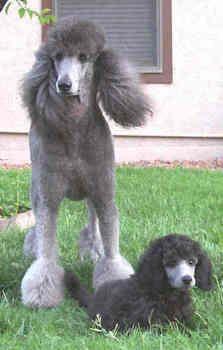 47 Best Standard Poodle images in 2012 | Poodle, Dogs
