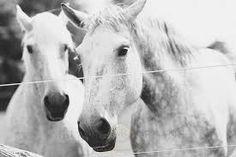 horses beautiful grey - Google Search