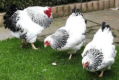 Columbian Wyandotte Rooster and hens. Live Chicken, Hen Chicken, Chicken Coops, Bantam Chickens, Chickens And Roosters, Fancy Chickens, Chickens Backyard, Beautiful Chickens, Beautiful Birds