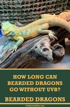 Learn how long a bearded dragon can go without UVB light. And lighting tips for this reptile. Bearded Dragon Heat Lamp, Bearded Dragon Lighting, Bearded Dragon Habitat, Bearded Dragon Diet, Reptiles, Amphibians, Reptile Heat Lamp, Lizard Girl, Bearded Dragon Enclosure