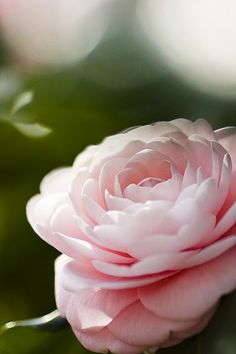 CAMELLIA by yocca on Flickr...