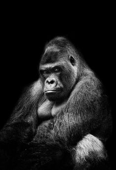 Gorilla - This is a awesome but scary photo. Just goes to show you the vast power that our creator has. Primates, Mammals, Nature Animals, Animals And Pets, Cute Animals, Strange Animals, Beautiful Creatures, Animals Beautiful, Gorilla Tattoo