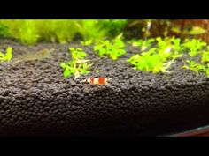 LG G4 crystal red & amano shrimp  4k