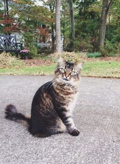 Lost Cat - Maine Coon - Alpharetta, GA, #LOSTCAT #Garfield #Alpharetta (Providence Road)  #GA 30009 #Fulton Co. , #Lost #Cat 04-22-2016!, Male #Maine Coon Tabby/  CONTACT perryann@uga.edu Phone: (770) 543-8336 #lostcatsgeorgia  To see this pet's location on the Helping Lost Pets Map: http://www.helpinglostpets.com/v2/?pid=1113499  More Info: http://www.helpinglostpets.com/petdetail/?id=1113499 Let's get this Cat home!