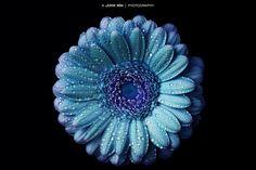 Waterdrops on Blue Gerbera by John Win | Photography on 500px