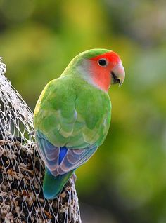 Peach Faced Love Bird, scottsdale is covered with these little beauties