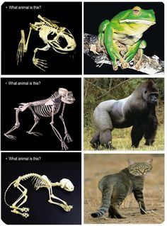 This is a FREE name that animal based on its skeleton presentation. It helps reinforce that the skeletal system helps provide the form of the animal. A skeleton is shown and then the students try and guess the animal. This set of slides is one very small part of my skeletal system lesson. Link to FREE .ppt provided in pin info.