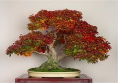 Autumn season for this beautiful 3 trunk Maple Bonsai from the Omiya Bonsai Art Museum Collection...this site shows pictures of this gorgeous tree in every season. They are all beautiful!