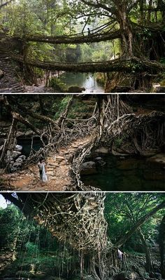 The Root Bridges of Cherrapunji Long ago, the War-Khasis people of Meghalaya in northeastern India began forming the roots of the rubber tree into bridges that would give them passage over the river. The root bridges are extraordinarily strong and because Oh The Places You'll Go, Places To Travel, Places To Visit, Over The River, To Infinity And Beyond, Adventure Is Out There, India Travel, Maldives, Wonders Of The World
