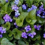 Violet. Zone 5 Perennial.