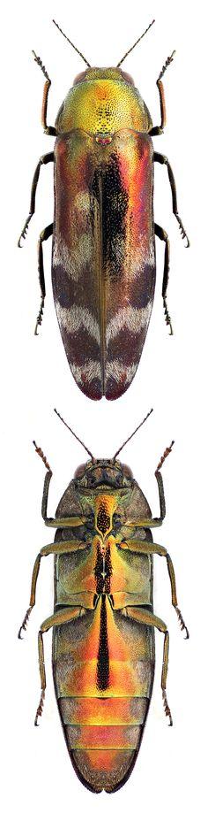 Coraebus sp.