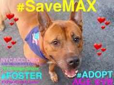 #SaveMAX SWEET 6YR #DOG 2 DIE 8/12 NYCACC! PLS #FOSTER #ADOPT #RESCUE #LOVE #Pledge RT/Share https://www.facebook.com/Urgentdeathrowdogs/photos/a.611290788883804.1073741851.152876678058553/852795314733349/?type=3&theater … pic.twitter.com/M9XUcKdInz