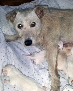 Mesa, AZ - Wirehaired Fox Terrier. Meet A3920155, a dog for ...