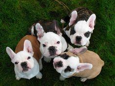 <3 from blackoak french bulldogs