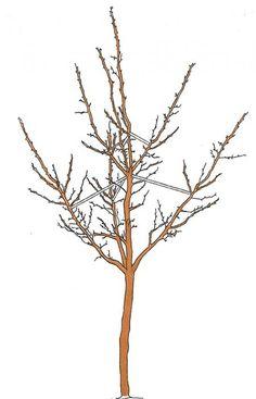 apfelb ume richtig schneiden apfelb ume schneiden apfelbaum und g rten. Black Bedroom Furniture Sets. Home Design Ideas