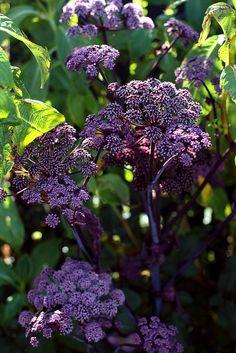 Angelica stricta purpurea | by anniesannuals
