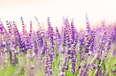18 Lovely Things You Didn't Know About Lavender  - CountryLiving.com