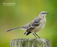 mocking bird--I currently have an insomniac mockingbird who sings loudly at 3:00 a.m. Last night (this morning?) I heard him imitate a toad when it croaked, and today it imitated my dog barking at my horse.