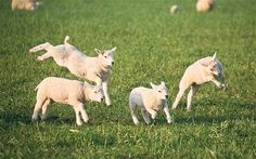 Lambs frollicking and frisking about...