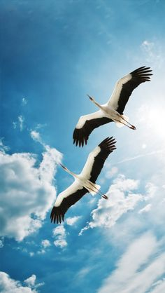 Storks in the sky. (photographer unknown)