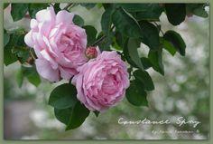 Englische Rose Costance Spry - Kletterrose
