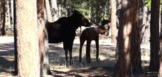 Moose tries to mate with metal statue in Colorado yard