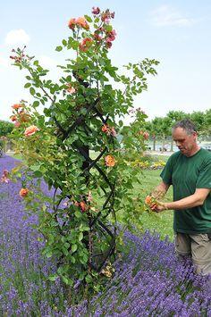 Pflege der Rosen an Ranksäule Charleston