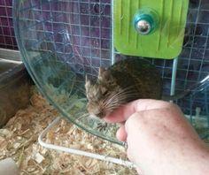 My new pet, Dennis the Degu, enjoying a bit of fuss Degu, Animals, Animales, Animaux, Animal, Animais, Dieren