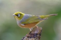 silver eye bird  Which character in Book Two will shift into a Silvereye?