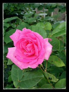 Ontdek jouw lotskleur en persoonlijke expressie kleur. Geef je op voor de workshop kleurologie. Workshop, Rose, Flowers, Plants, Atelier, Pink, Roses, Florals, Plant