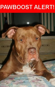 Is this your lost pet? Found in San Jose, CA 95113. Please spread the word so we can find the owner!  SHE IS A BEAUTIFUL RED PITBULL SEEMS LIKE A PUPPY STILL BUT 40LBS  SHE NEEDS TO BE REUNITED WITH HER OWNER. VERY WELL TAUGHT WELL BEHAVED. I CANT KEEP HER MUCH LONGER MY LANDLORDS DONT APPROVE.  I DONT WANT TO BRING HER TO A SHELTER OR HUMANE SOCIETY, WE ALL KNOW WHAT THEY DO TO PITBULLS! PLEASE HELP ME FIND HER HOME.  THE PIC IS NOT HER BUT THE CLOSEST MATCH SHE HAS A VERY THIN WHITE STREAK…