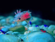 I first encountered axolotls in 1958. I've been smitten with them (and with nudibranchs) ever since. this is just gorgeous.