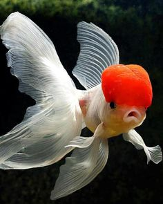 goldfish ▓█▓▒░▒▓█▓▒░▒▓█▓▒░▒▓█▓ Gᴀʙʏ﹣Fᴇ́ᴇʀɪᴇ ﹕ Bɪᴊᴏᴜx ᴀ̀ ᴛʜᴇ̀ᴍᴇs ☞…