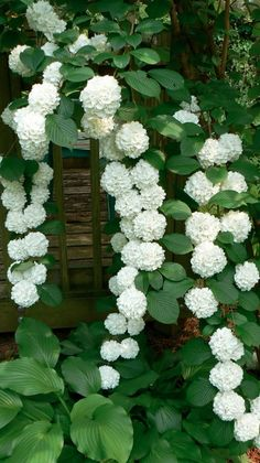 Double file viburnum. Love! Recently planted a snowball viburnum in my back yard, they are beautiful, makes you smile to see them!