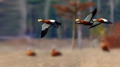 Clocking in at 22,000 feet, the ruddy shelduck is the highest flying of all ducks. photo by Wang LiQiang