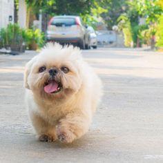 Shih Tzu from ig @Ponkzzz #dog #cute #ShihTzu