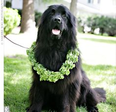 "The couple referred to their Newfoundland dog, Kuma, as the ""Best Dog"" on their ceremony programs. He was escorted down the aisle by two of Nile's cousins wearing a bright ivy wreath, created especially for him by the florist."