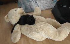 Cat on a Teddy Bear