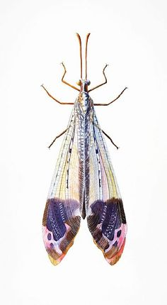 Antlion - insect, antlion, glenurus by Dinah Wells