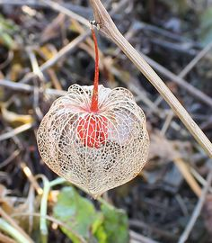 chinese lantern plant - Google Search