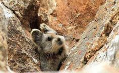 The mammal with a teddy bear face and bunny ears was discovered by chance in 1983 by Li, who only spotted the creature a handful of times over the following decade, according to the National Geographic.