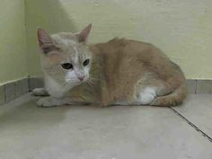 NYC TO BE DESTROYED 4/7/14 Manhattan Center My name is ANNIE. My Animal ID # is A0994945.I am a female cream and white domestic sh mix. The shelter thinks I am about 5 YEARS old.I came in the shelter as OWNER DIED. I came in with Group/Litter #K14-171898.