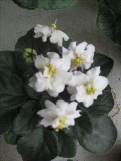 Jolly Sun Chaiser(полумини).Розетка цветёт.Фото моё.