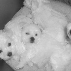 maltese doggie #maltese doggies