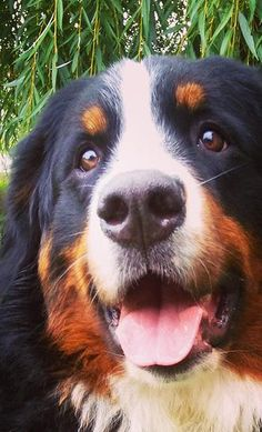 Bernese Mountain Dog Puppy Dog Puppies Hound Dogs