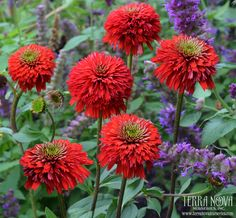 For the mailbox ~ echinacea SECRET LOVE fragrant double red flowers coneflower ✿Live Potted Plant✿ Outdoor Plants, Garden Plants, Red Plants, Sun Garden, Garden Fun, Outdoor Spaces, Garden Ideas, Beautiful Gardens, Beautiful Flowers