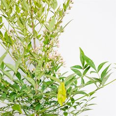 Find Sacred Bamboo - Nandina domestica at Bunnings Warehouse. Visit your local store for the widest range of garden products. Trees And Shrubs, Trees To Plant, Shade Plants, Red Berries, Star Shape, Red Purple, Green Leaves, Garden Plants, White Flowers