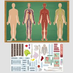 Teach students about systems of the body (digestive, circulatory, nervous, muscular, skeletal), organ placement, etc., with these REUSABLE cloth sticker sets.